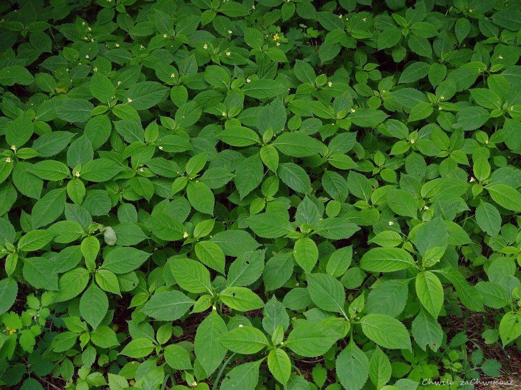 Niecierpek drobnokwiatowy ziele cięte 50g.